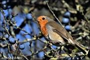 23rd Nov 2020 - Wood Lane robin