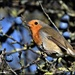 Wood Lane robin