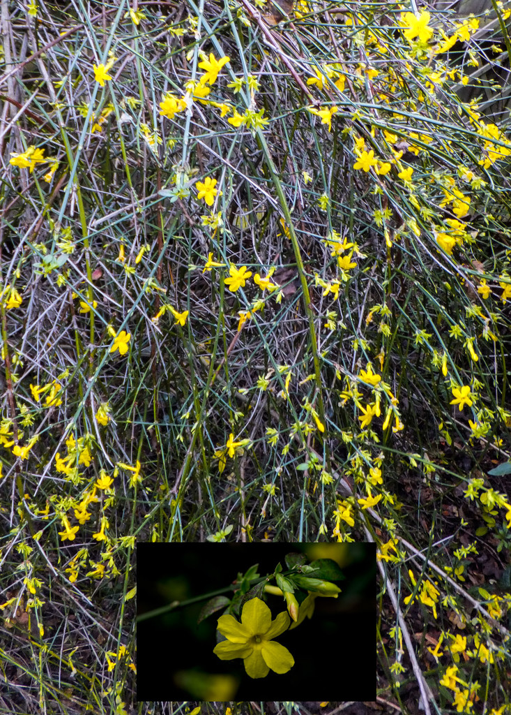 Winter Flowering Jasmine by ivan