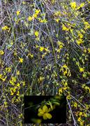 23rd Nov 2020 - Winter Flowering Jasmine