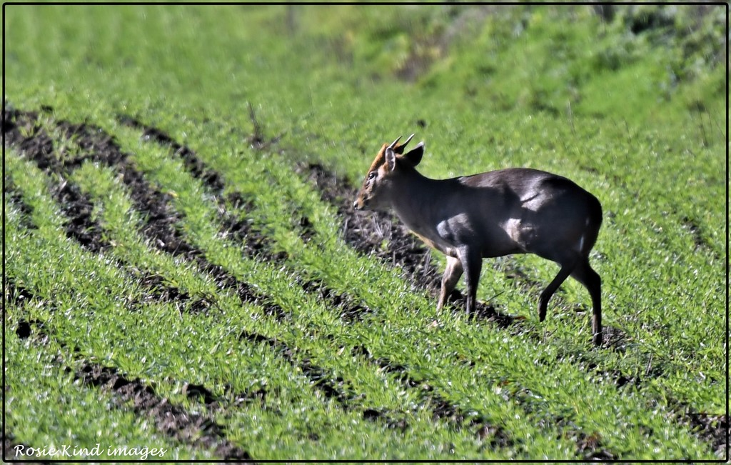 Muntjac in the field by rosiekind