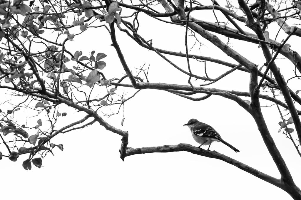 042 - Mockingbird by emrob