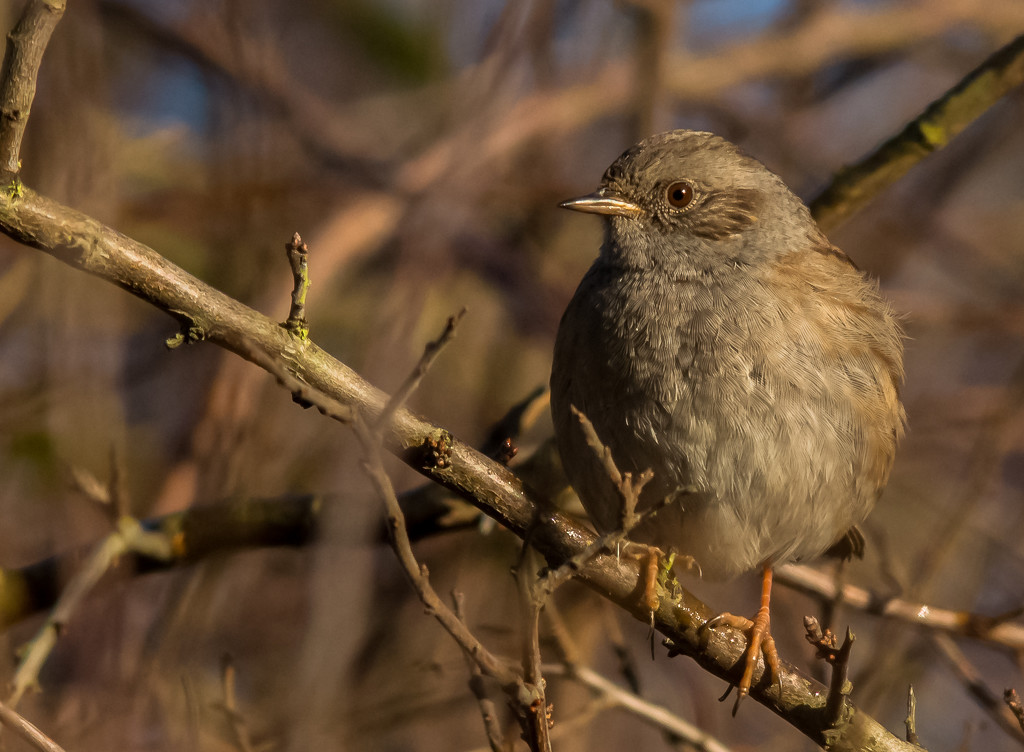 Dunnock by ilovelenses