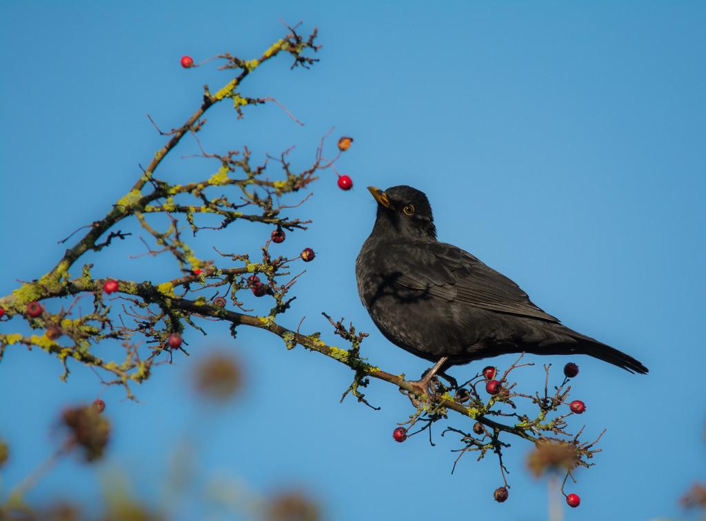 Blackbird by ilovelenses