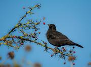 22nd Nov 2020 - Blackbird