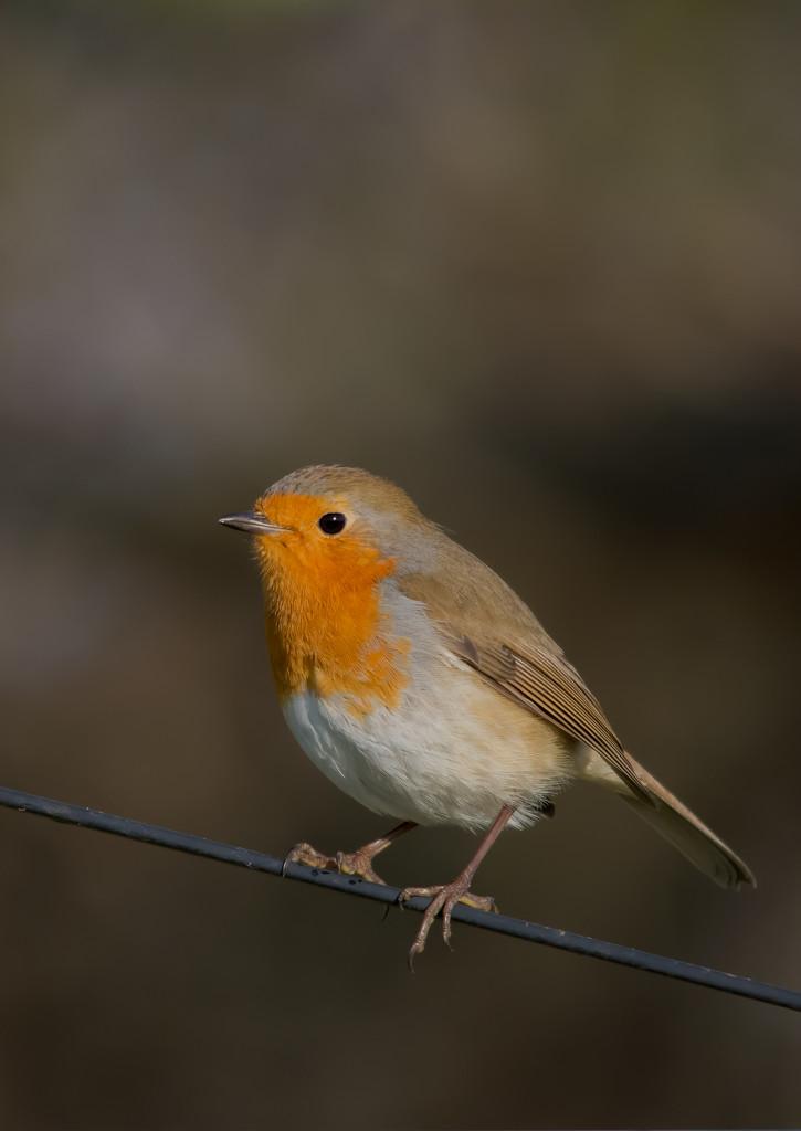 Robin by ilovelenses