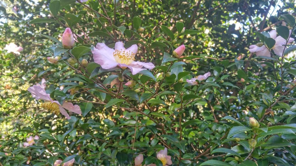 Pinks still blooming... by marlboromaam
