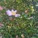 Pinks still blooming...