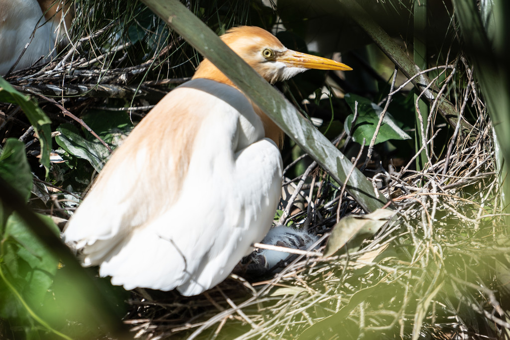 Cattle egret hatching by sugarmuser