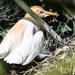 Cattle egret hatching
