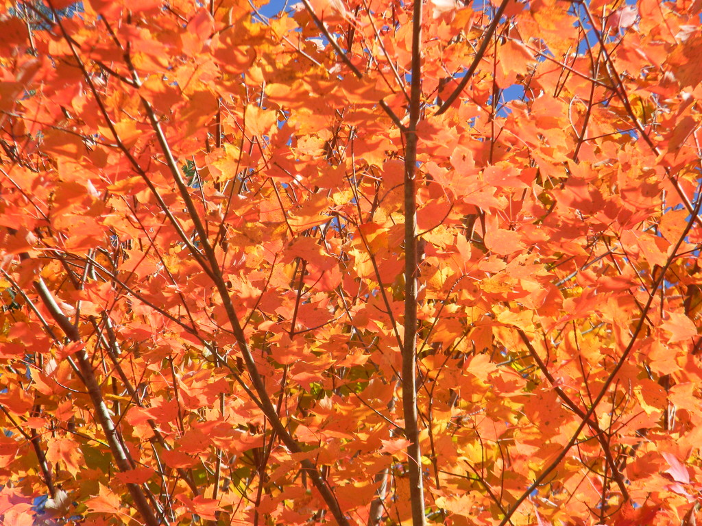 Red Maple Leaves by sfeldphotos