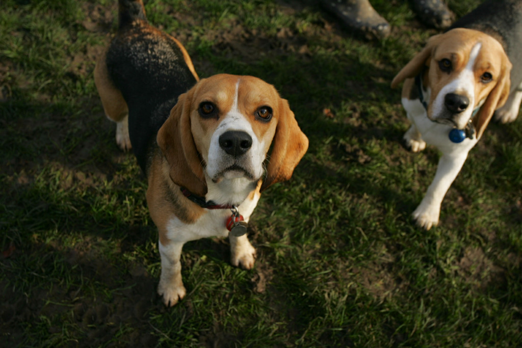 Beagles About by snoopybooboo
