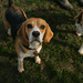 Beagles About