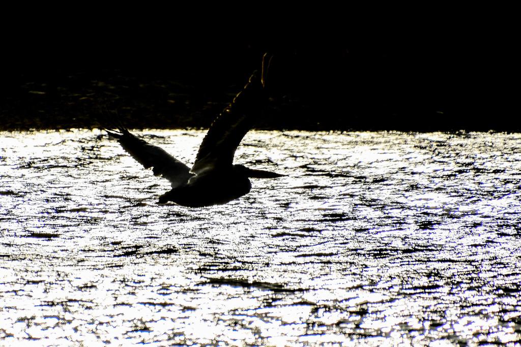 Pelican Silhouette by kareenking