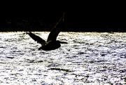 19th Nov 2020 - Pelican Silhouette