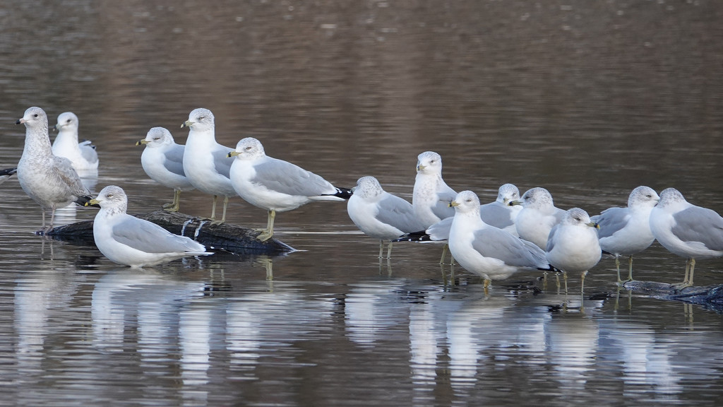Ring-billed Gulls by annepann
