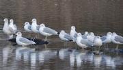 23rd Nov 2020 - Ring-billed Gulls