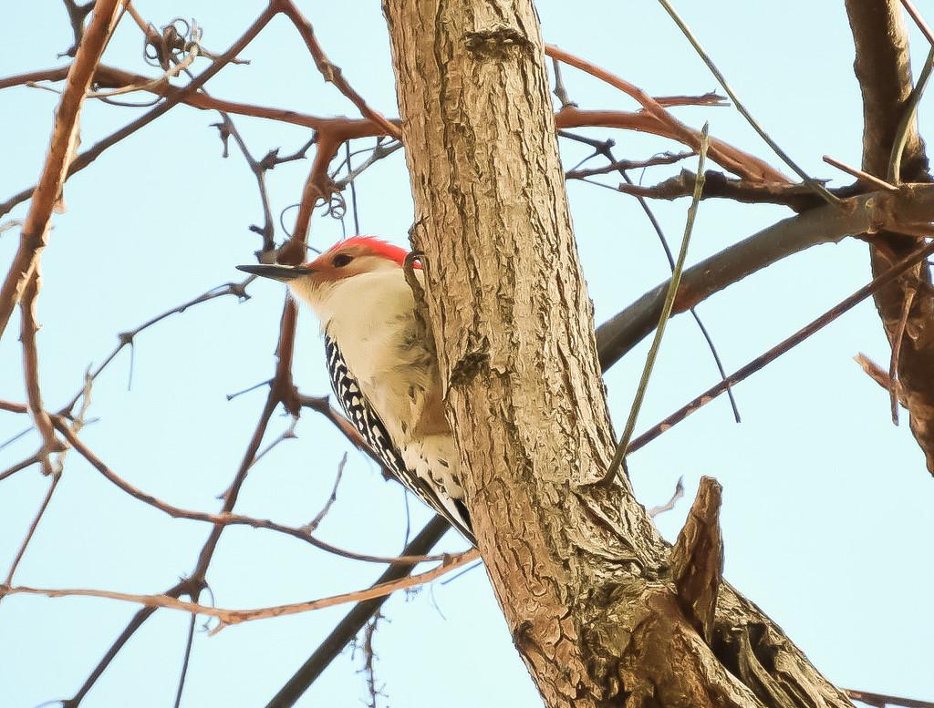 Red Bellied Woodpecker  by mzzhope
