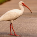 Ibis on the Stroll!