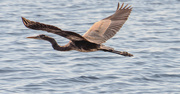 23rd Nov 2020 - Blue Heron Fly-by!