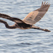 Blue Heron Fly-by!