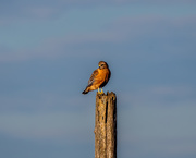 23rd Nov 2020 - Another visit by my local Red-shouldered hawk.
