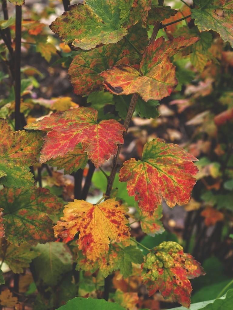 Redcurrant shrub again by monikozi
