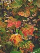 24th Nov 2020 - Redcurrant shrub again