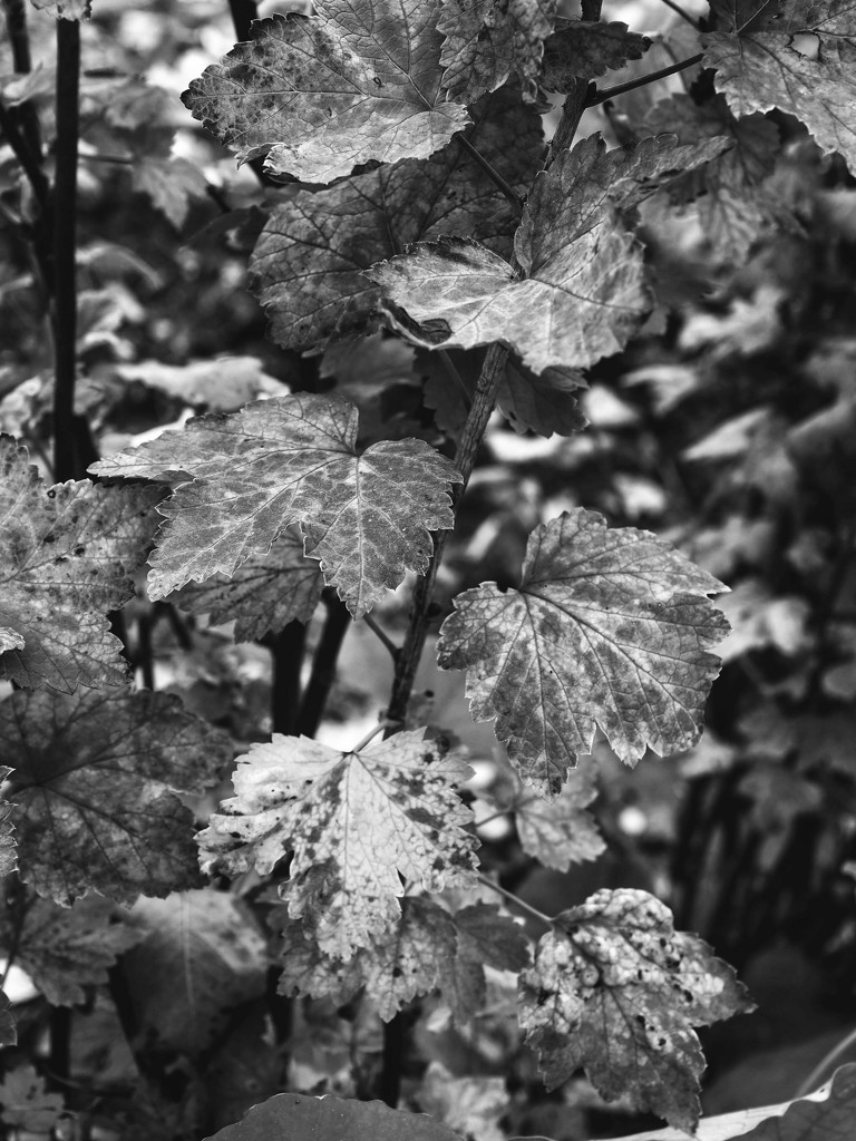 Red Current in b&w by shutterbug49
