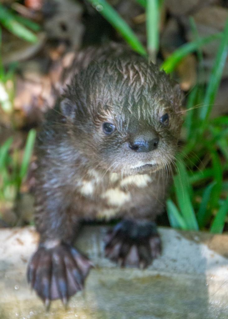 Oscar the Otter by zambianlass