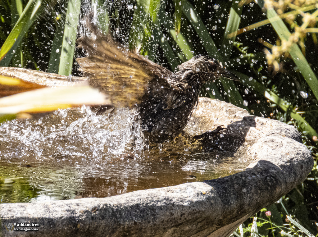 Mrs bowerbird splashes out by koalagardens