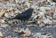 24th Nov 2020 - Blackbird
