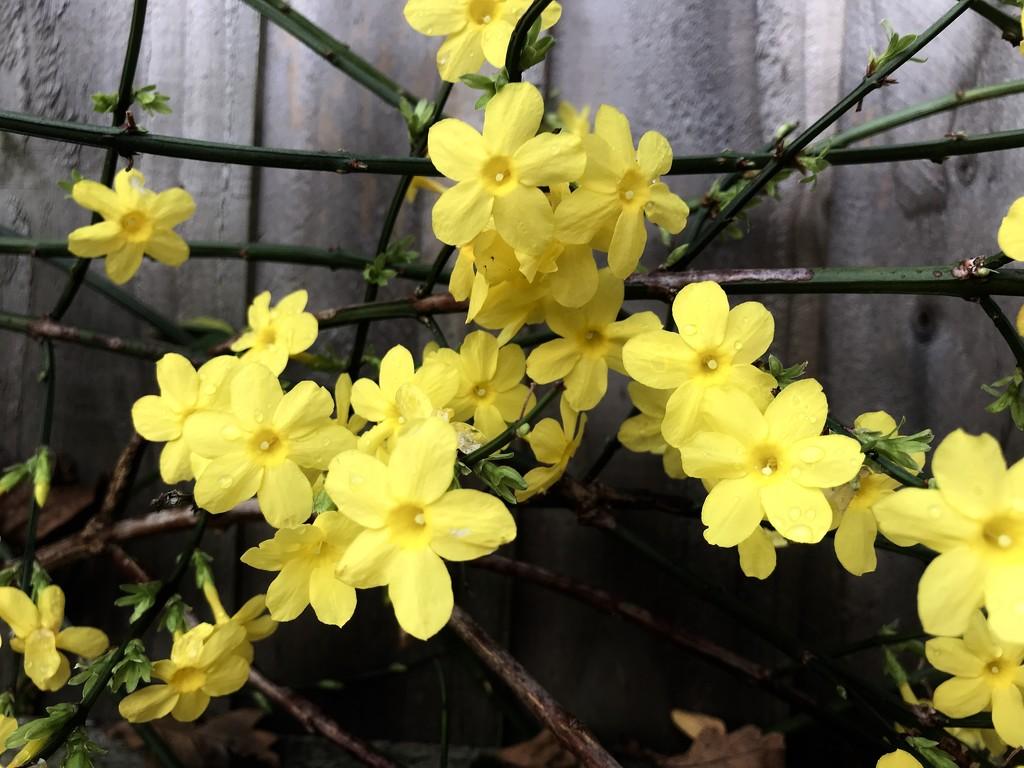 Yellow by daffodill