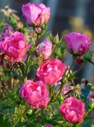 24th Nov 2020 - Roses