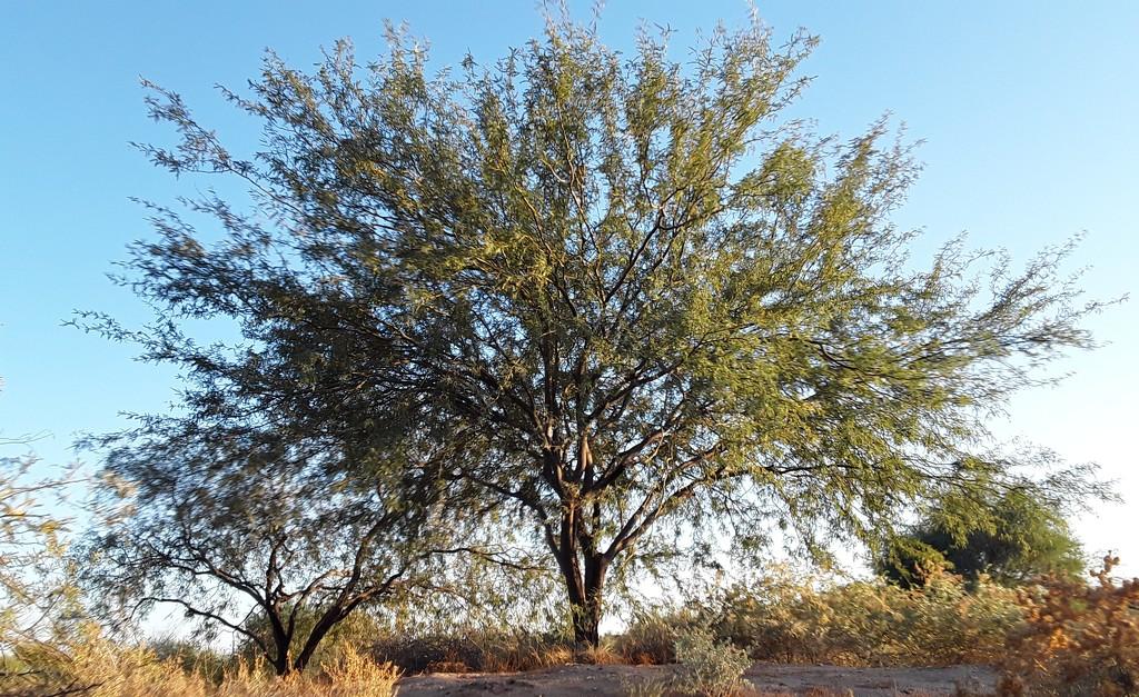 Velvet mesquite tree by blueberry1222