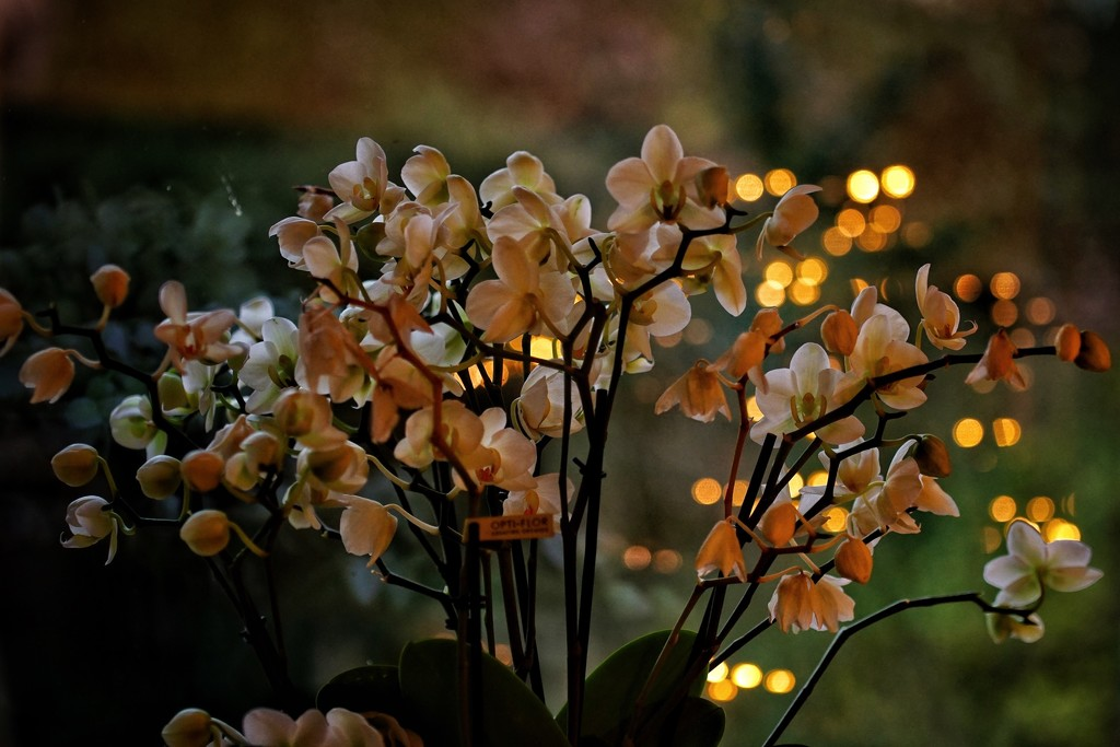 cozy orchids by romainz