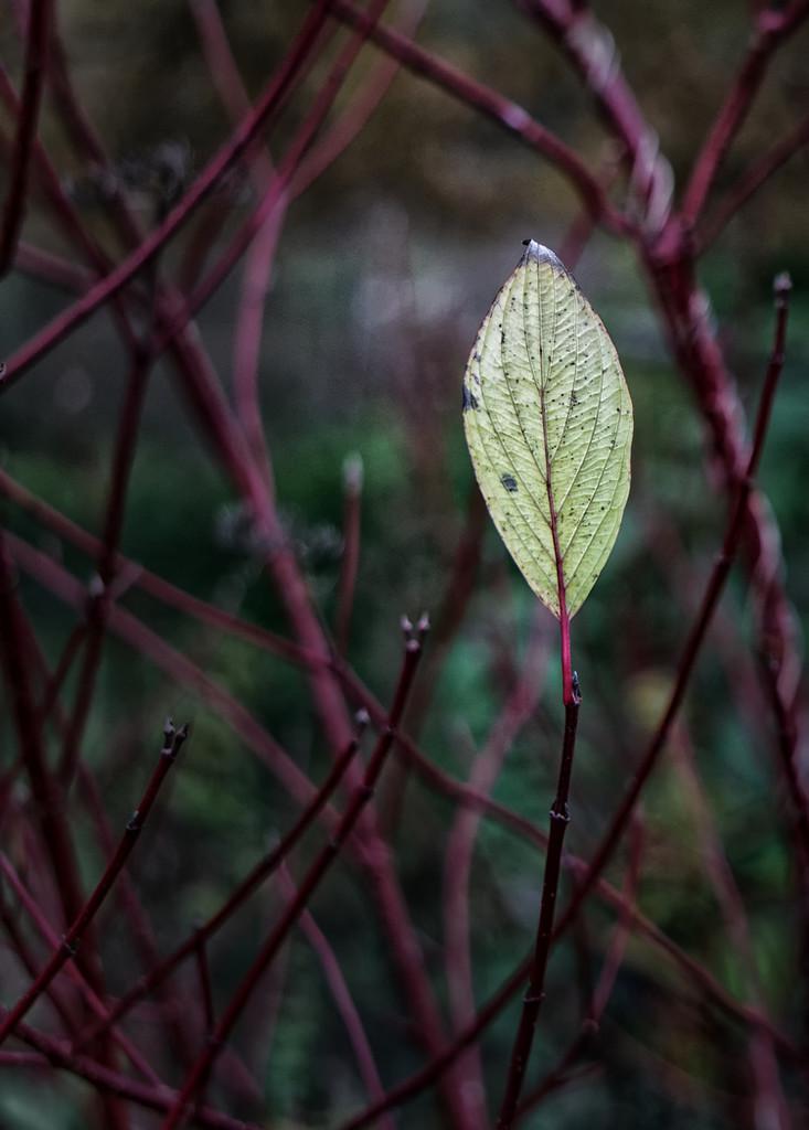 1123 - The last leaf by bob65