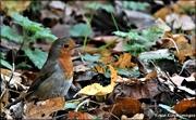 24th Nov 2020 - Shufflling through the leaves