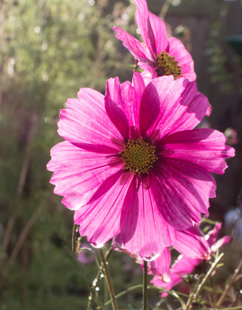 Backlit cosmos by busylady