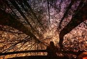 24th Nov 2020 - 2020-11-24 tree canopy