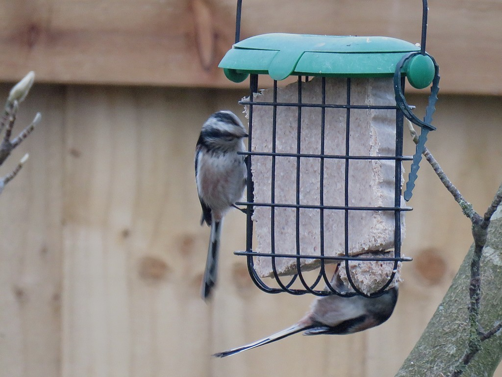 Long Tailed Tit by phil_sandford