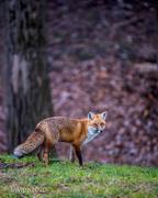 24th Nov 2020 - Foxy