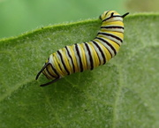 18th Sep 2020 - Monarch Butterfly Caterpillar