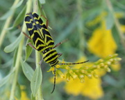 20th Sep 2020 - Locust Borer