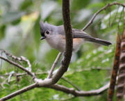 25th Sep 2020 - Tufted Titmouse