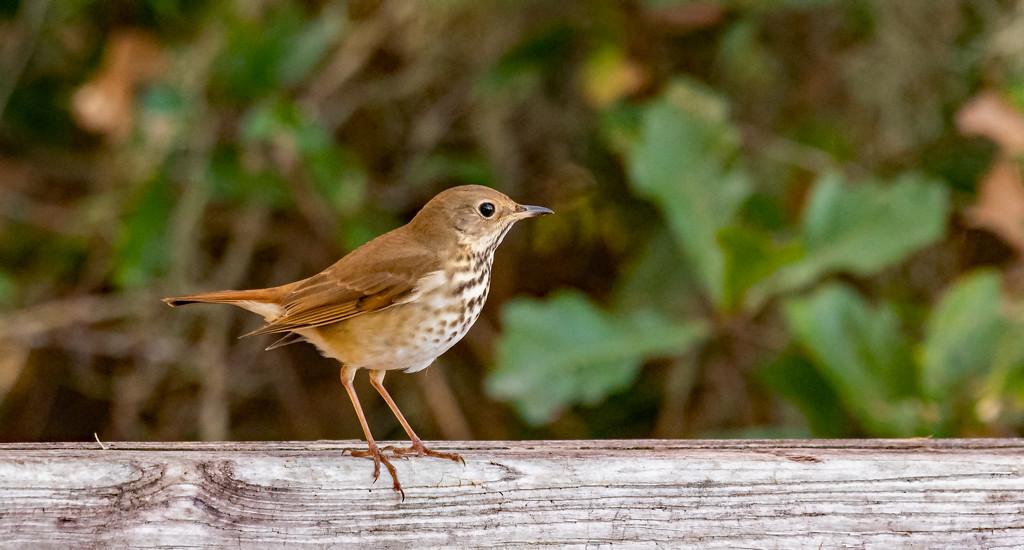 Brown Speckled Bird! by rickster549