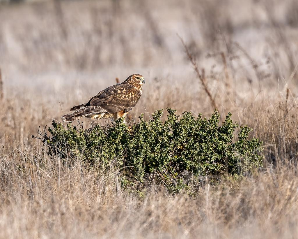 Northern Harrier by nicoleweg