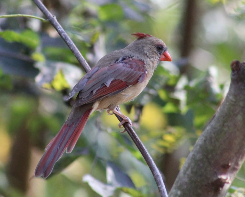 Young Miss Cardinal by cjwhite