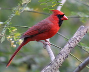 23rd Oct 2020 - Mr. Cardinal