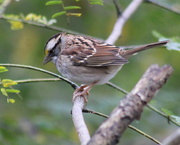 24th Oct 2020 - White-Throated Sparrow